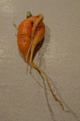 carota coda tra le gambe?