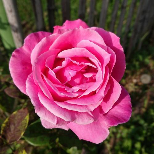 rosa, terza fioritura dell'anno